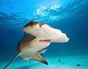 requin raie