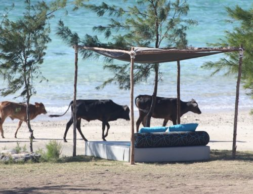 Campagne de vaccination contre la fièvre aphteuse à Rodrigues